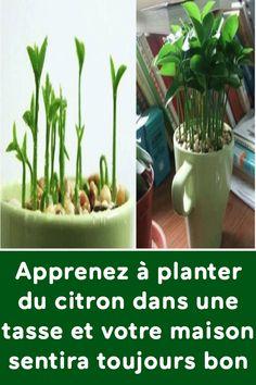 Lær hvordan du planter citron i en kop, og dit hus vil altid lugte . Planting Vegetables, Vegetable Garden, Herbs Garden, Organic Gardening, Gardening Tips, Smell Good, Permaculture, Horticulture, Indoor Garden