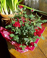 Miniature rose bush - How to care for it as a houseplant or plant it outside