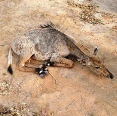The #WildlifeSOS Rapid Response unit rescued a #Nilgai (Blue bull)calf from a residential colony in Faridabad. The calf's hind legs were paralyzed and the animal is currently kept under treatment.  If you come across any wild animal in distress in Delhi NCT, please call the Wildlife SOS #Helpline Mobile 9871963535.
