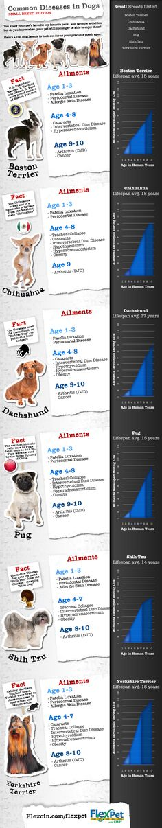 Joint Pain and Other Diseases in Small Dog Breeds [Infographic]