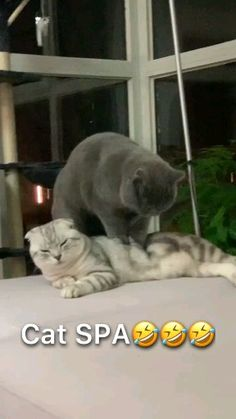 funny cats video,Funny, Funny Categories Fuunyy funny cat spa Source by dogtreatmentpro. Funny Animal Jokes, Funny Cute Cats, Funny Cat Memes, Cute Cats And Kittens, Funny Animal Videos, Cute Funny Animals, Funny Animal Pictures, Cute Baby Animals, Videos Funny