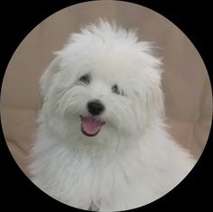 Small dog training is essential for a safe and happy dog.  Learn how to train your Coton de Tulear the right way.