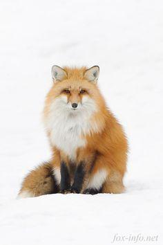 Red Fox   fox-info.net - foxinfonet - fox_info_net