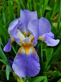 Exquisite Japanese Bearded Iris | Flickr - Photo Sharing!