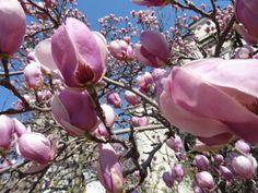 magnolie din curtea bisericii Radu Voda