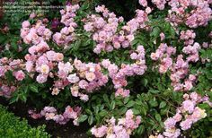 Rosa Cornelia. Old fashioned looking hybrid musk...scented, copper-coral centered fading to pink. Long flowering season. June to October. Vigorous. Can take some shade.
