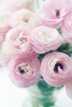 pale pink ranuculus fleurs
