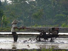 Farming rice fields, Wlingi, Indonesia