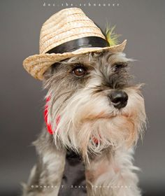Ranked as one of the most popular dog breeds in the world, the Miniature Schnauzer is a cute little square faced furry coat. Schnauzers, Schnauzer Breed, Miniature Schnauzer Puppies, Schnauzer Grooming, Toy Puppies, Cute Puppies, Dogs And Puppies, Doggies, Orcas