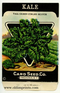 Card Seed Company - Tall Green Curled Scotch Kale