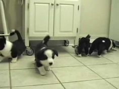 Adorable Cardigan Welsh Corgi puppies, 6 weeks old, herding a cat and enjoying some puppy fun.
