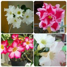 Meu jardim de rosas do deserto ♥ - parte II