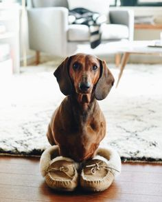 What do you mean I'm supposed to bring you the paper? (Photo via Instagram: homerhund) L.L.Bean Wicked Good Slippers