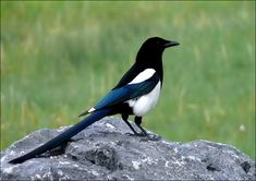 Magpie - year round occasional visitors.  Noisy! One flew in our open window once and we had quite a time herding him out.