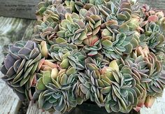View picture of Echeveria 'Winter Sunset' (Echeveria x imbricata) at Dave's Garden.  All pictures are contributed by our community.
