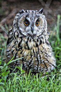 Waldohreule - Long Eared Owl by Canon Queen Rocks Owl Photos, Owl Pictures, Beautiful Owl, Animals Beautiful, Owl Bird, Pet Birds, Queen Rock, Long Eared Owl, Wise Owl