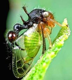 This treehopper looks like it has an ant on its back. #treehopper #insct #entomology