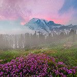 Pink Heather Twilight On Mt Rainier by kevin mcneal