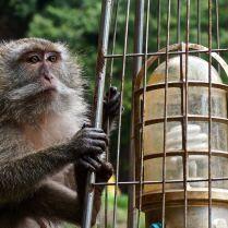 Macaque deep in thought in Thailand. Trueworldtravels.com