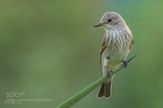 Spotted Flycatcher by vinukmathew. Please Like http://fb.me/go4photos and Follow @go4fotos Thank You. :-)