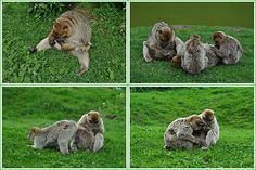 Too much monkey business by Pirmin Nohr  A collage of barbary apes doing their job :-)