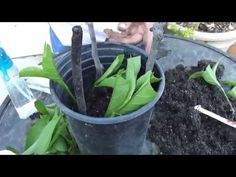Propagate and transplant rooted night blooming jasmine (Cestrum nocturnum) cuttings pt 2 - YouTube