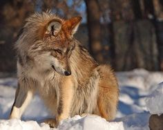 Something Catches This Wolf's Eye.