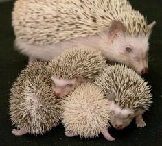 The newest, cutest baby animals from the world's accredited zoos and aquariums. Cute baby animal pictures and videos by date, species, and institution. Cute Creatures, Beautiful Creatures, Animals Beautiful, Happy Hedgehog, Cute Hedgehog, Pygmy Hedgehog, Stuart Little, Tier Fotos, Exotic Pets