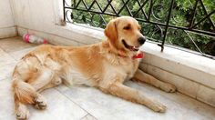 Sheffer an 18-month-old Golden Retriever for adoption #Delhi Two months agoan animal lover rescued him from a factory with the help of a couple of friends.Her intention was to put him up for adoption but he was in such bad condition that this kindlady decided to keep him and nurse him back to health before looking for a forever family for him. Her efforts have paid off and Sheffer is a handsome healthy Retriever anyone would be proud to call their own.In the two months they've been together…