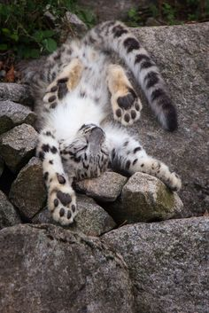 A picture from a snow leopard cub. It felt asleep during playing.