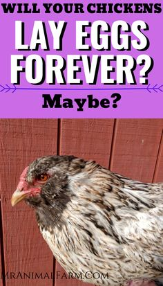 Unfortunately, our chickens won't lay eggs forever. Hens are actually born with all the eggs they will ever have. Want to know how long chickens lay eggs? Click to find out. #homesteadanimals #raisingchickens #homesteadlife Keeping Chickens, Raising Chickens, Egg Incubator, Baby Chicks, Raptors, Hens, How To Find Out, Backyard, Patio
