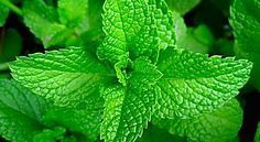 Peppermint Seeds (Mentha Piperita) ideal candidate for container herb gardening.will grow indoors or outdoor-Organic !Peppermint (Mentha Piperita) - There are several different types of mint: spearmint, bergamot, applemint, and Bowles mint; Growing Mint, Growing Herbs, Growing Tomatoes, Fast Growing, Healing Herbs, Medicinal Plants, Herb Plants, Indoor Herbs, Potted Plants