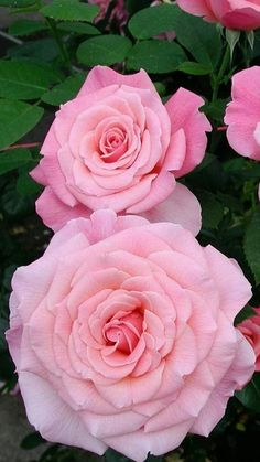 Take a look at these amazing Nature photos and videos 💕 💋 Beautiful Roses, Beautiful Gardens, Beautiful Flowers, Flower Images, Flower Pictures, Pink Roses, Pink Flowers, Good Morning Flowers, Rosa Rose