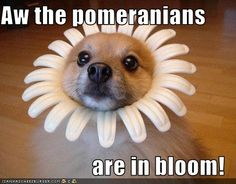 Pomeranians are in Bloom.  If only mom would let me do thing to Paladin.