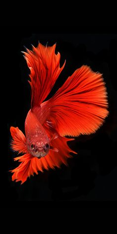 Having owned quite a few of these elegant creatures, I was thrilled to see the quite colorful, or sometimes all white, beauty of the Siamese fighting fish or Betta captured through photography. Colorful Fish, Tropical Fish, Poisson Combatant, Carpe Koi, Fish Wallpaper, Gold Wallpaper, Iphone Wallpaper, Beta Fish, Fish Fish