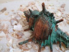 Hey, I found this really awesome Etsy listing at https://www.etsy.com/listing/42678525/murex-trappa-sea-shell-copper