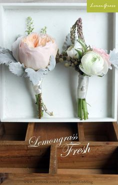 Peach garden rose corsage with dusty miller