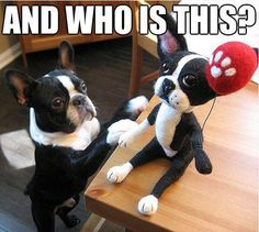 He's company for you! #dogs #pets #BostonTerriers facebook.com/sodoggonefunny