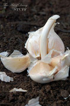 "How To GROW GARLIC:  PLANT NOW  IN THE FALL!!  You want to plant the garlic ""root"" end down.  Like so.  The bigger the clove you plant, the bigger the resulting head of garlic will be.  If you sprinkle a little oregano on top of the garlic and squeeze a tomato over everything in 9 months you'll have grown a delicious marinara sauce.  No you won't."