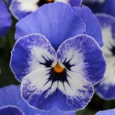Pansies are my favourite flowers ... this is Sorbet XP Delft Blue and it is a gold medal winner.