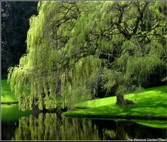 From Southern Living - Why Weeping Willow trees should always be planted next to a large body of fresh water...
