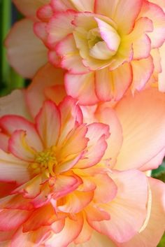 Begonias--soon will have these in hanging baskets and flower beds!