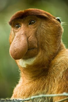 The proboscis monkey (Nasalis larvatus) is endemic to Borneo.