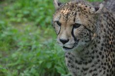 Cheetah in Zoo Parc Overloon