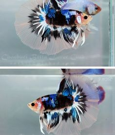22 Best She Killed My Betta Fish Images Betta Fish
