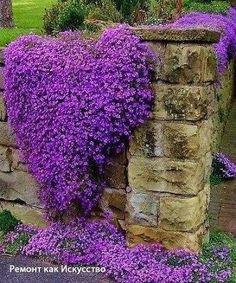ОБРИЕТА - ЯРКИЙ КРАСОЧНЫЙ КОВЕР ИЗ РОЗОВЫХ, МАЛИНОВЫХ, ФИОЛЕТОВЫХ ЦВЕТОВ Если в середине весны вы, попав на свой участок, увидите среди прошлогодней рыжей травы лишь пустые места или первые ростки многолетников, вспомните, что есть на свете чудо по имени обриета. Разведите ее в саду, и тогда перед вами откроется поистине сказочная картина - яркий красочный ковер из розовых, малиновых, фиолетовых цветов. Из-за обилия их не рассмотреть ни одного листочка.  Род насчитывает 12 видов…