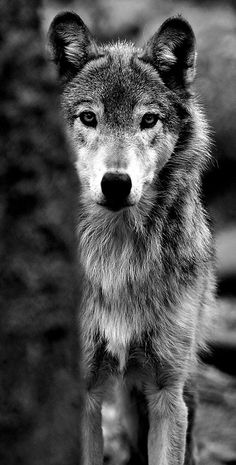 """How lonely is the night without the howl of a wolf."" More"