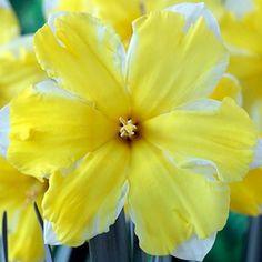 Top 25 Most Beautiful Daffodil Flowers