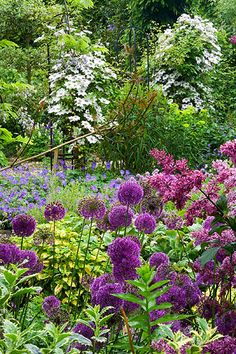 Hunmanby grange, yorkshire: Clematis 'mrs bateman' climb over metal supports with allium 'purple sensation' in foreground.   Clive Nichols photo