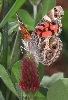 American Painted Lady | Flickr - Photo Sharing!